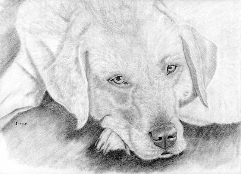 silvia_hund2.jpg - Mein zweites Hundeportrait mit Bleistift gezeichnet. Skizzenblock DinA4. Nach einem Foto (mit freundlicher Genehmigung von Wolfgang Schlag von www.pixelio.de) gezeichnet.